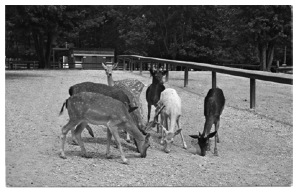 Postcard view of some deer, the most popular animals at the park.