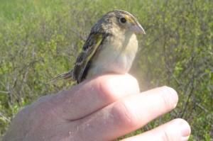 Sparrow Closeup